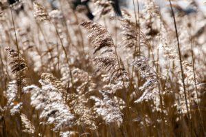 Goldene Gräser